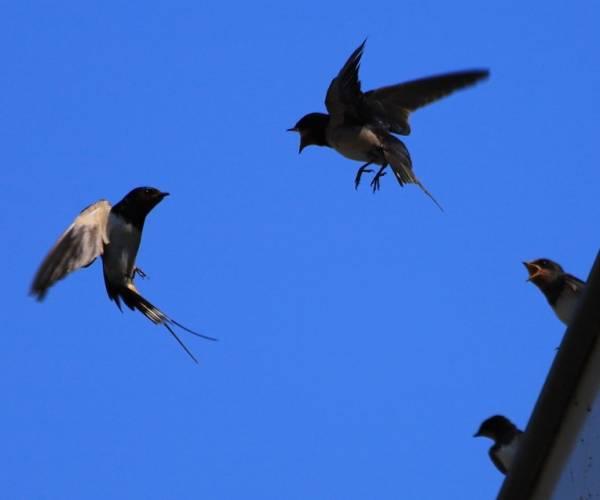 Jonge zwaluwen aan de Eegracht in IJlst
