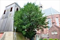 Petitie overhandigd tegen kap taxusboom naast Martinikerk in Sneek