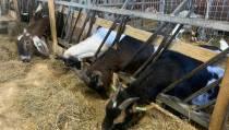 Súdwest-Fryslân werkt aan verbod op nieuwe geitenhouderijen vanwege gezondheidsrisico's