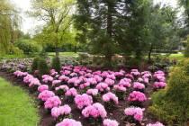 Rododendrons in bloei Wilhelminapark